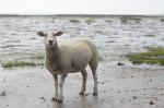 Schaf im Matsch. Ohne Wolle.